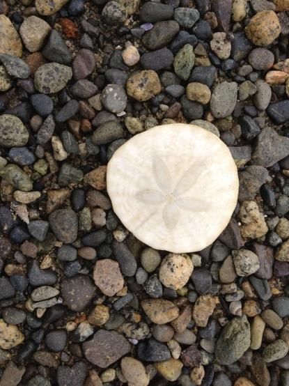 Sand dollar in Parksville