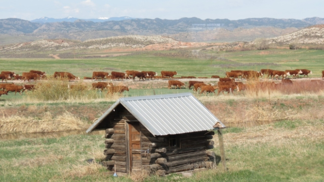 cattlein hayfield