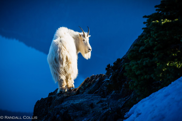 Mt. Ellinor and Skokomish Mountain Goats-1