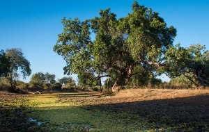 Sausage tree on the banks of a lagoon in South Luangwa National Park in Zambia
