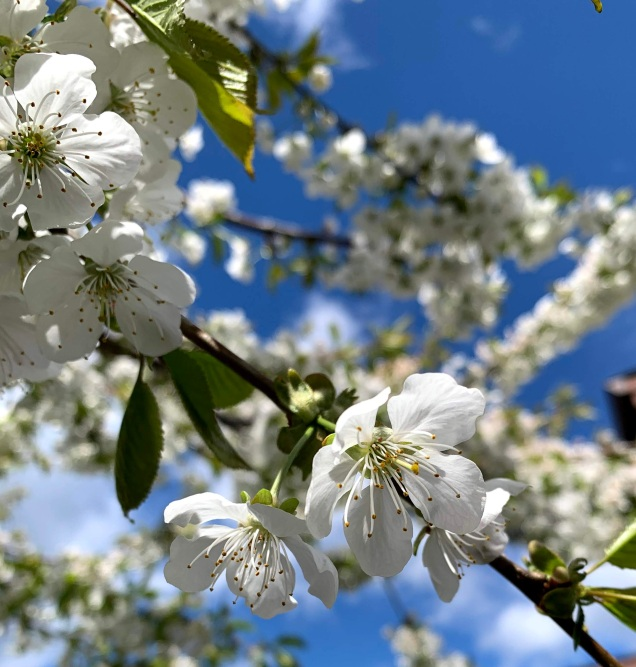bees are loving the blossoms on the cherry tree