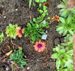 deep purple flower alongside some chicks and hens cacti