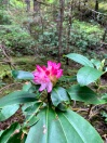 Rhododendron Flats