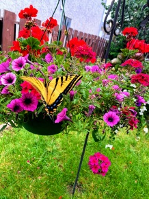 This butterfly had a blast for few minutes on our hanging baskets and my wife just loves butterflies. I took this picture for her. ♥