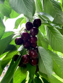 Did I mention how black and juicy my cherries were this year?