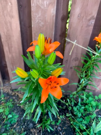 This tiger lily by my back fence always reminds me of my mom. Loads of flowers right now, and the gladiolas make me think of my Baba.