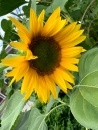 One of the dozens of sunflowers the bees in my yard are appreciating. The green center gradually disappears and the pollen is collected by bees on their hind legs. Love the show.